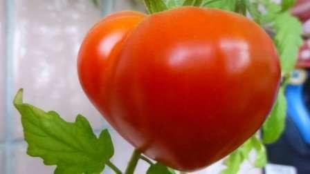 Буденовка: высокий, среднеранний, максимальная масса одного помидора 400 г.
