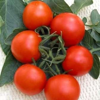 Верлиока: высокий, ранний, 80-100 г, относительно новый устойчивый томат.