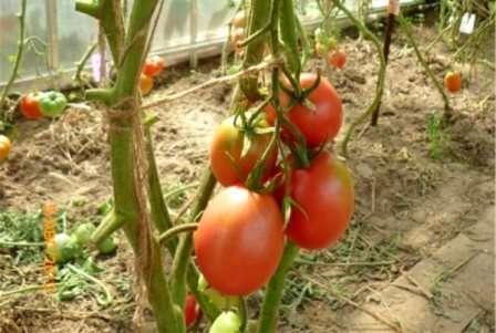 Де Барао: индетерминантный, среднепоздний; 60 г; сорт имеет различные вариации, отличающиеся расцветкой плодов.