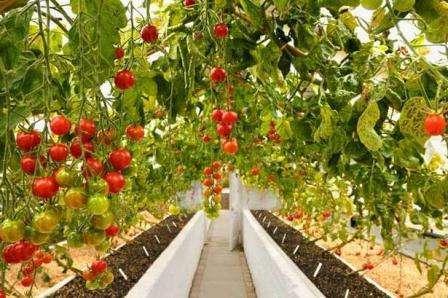 Интуиция: индетерминантный, среднеспелый, 100-грамовые плоды можно собирать кистями.