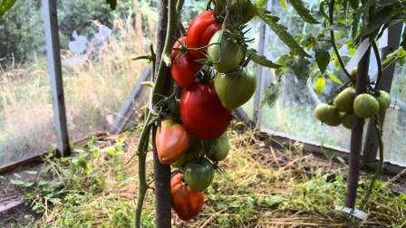 Мазарини: индетерминантный, среднеспелый, прекрасно переносит жару; вес плодов — 400-800 г.