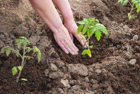 Сначала это следует делать на несколько часов, затем можно оставлять и на весь день. После того, как окончательно минует угроза весенних заморозков и установится тепло, рассаду высаживают в открытый грунт или теплицу.