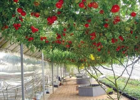 Спрут: высокорослый, позднеспелый, от 100 до 200 г; в отапливаемой теплице может расти до полутора лет, достигая масштабов огромного дерева и давая невероятный по объему урожай.