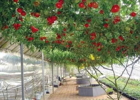 Уникальный томат с высокой урожайностью. При достатке тепла и питательных веществ разрастается до масштабов целого дерева.