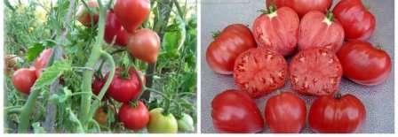 Мясистые и сладкие помидоры прекрасно подходят как для приготовления летних салатов, так и для зимних заготовок. Плоды не имеют склонности к растрескиванию.