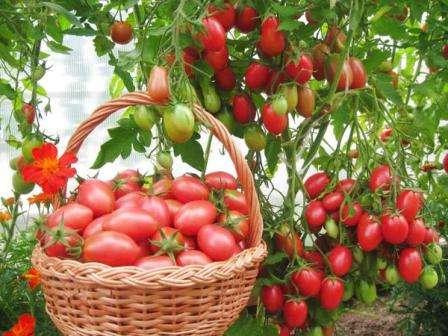 Кусты вырастают необычайно высокими, они буквально усыпаны небольшими вытянутыми красными помидорками.
