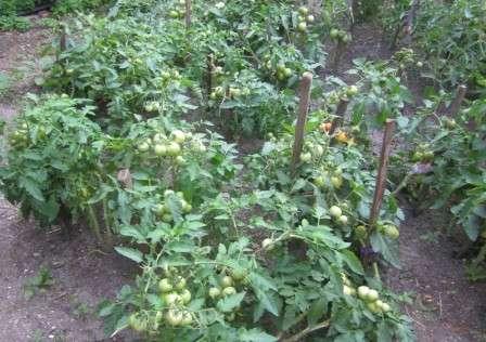 Допустимая схема посадки томата «санька» — 35 х45, но во избежание возникновения фитофтороза лучше расположить растения реже.