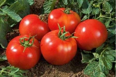 Если вы хотите, чтобы грядки с томатами выглядели красиво, а плоды имели приятный вкус и аромат, обратите внимание на томат Ямал. Характеристика и описание сорта представляет вашему вниманию наш сайт об успешном фермерстве.