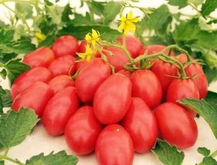 Что стоит знать про томат Ракета? Отзывы, фото (кто сажал, делиться ими охотно) могут поведать нам намного больше, чем сухие сведения с упаковки семян.