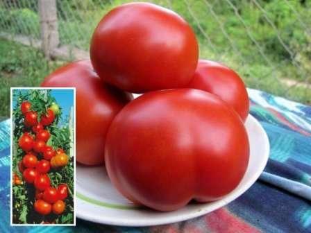 Ниже находится подробная информация про томат Красным Красно — характеристика и описание сорта. Может быть, и вы полюбите этот гибрид и станете выращивать его ежегодно?