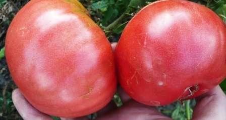 Если вы ищете для себя новый сорт помидоров, обратите внимание на томат Розовый гигант. Описание сорта, фото, отзывы и особенности агротехники вы найдете в этой статье нашего сайта о фермерстве.