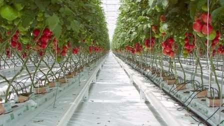 В рамках этой статьи нашего сайта о фермерстве мы рассмотрим лучшие сорта томатов, которые можно выращивать под укрытием, не боясь фитофтороза.