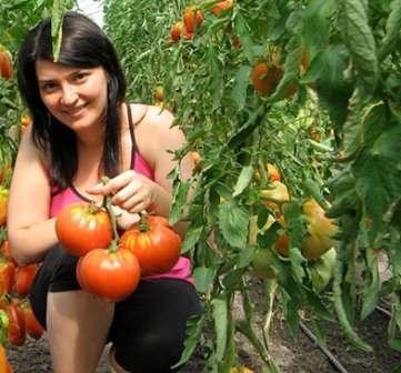 Спринт Таймер относится к выносливым томатам.