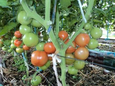 Катя — детерминантный сорт помидоров, поэтому селекционеры рекомендуют выращивать его в открытом грунте и под пленочным укрытием.