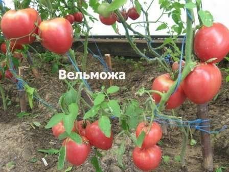 Вельможа: детерминантный невысокий, ранний, масса одного помидора от 250 до 800 г; минус — плохо хранится, склонен к растрескиванию.