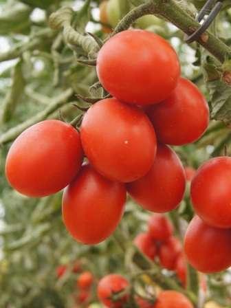 Пунто: средней высоты, суперранний, 20-25 г, овальные плоды.