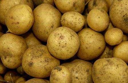 Важно! Уборку картофеля производят через 3-3,5 месяца после его посадки. Сразу, на огороде, можно отобрать клубни на семена.