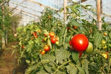 Сорта томатов для теплиц с устойчивостью к фитофторозу
