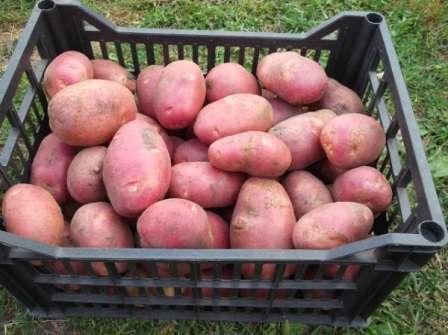 Судя по отзывам опытных фермеров, «скарлет» отлично подходит для масштабного выращивания в коммерческих целях.