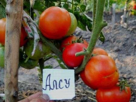 Урожайность томата «алсу» стабильно высокая — от 7 до 9 кг/м².
