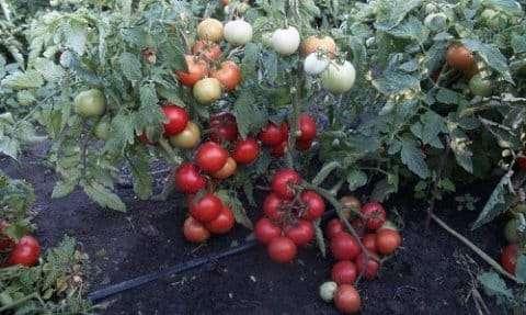 Супердетерминантные — низкорослые, очень быстро развивающиеся томаты. Они выведены специально для северных регионов.