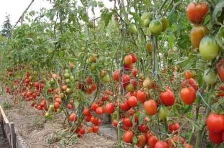 Индетерминантные — рост куста неограничен и может продолжаться бесконечно. Такие помидоры всегда требуют подвязки и формирования.