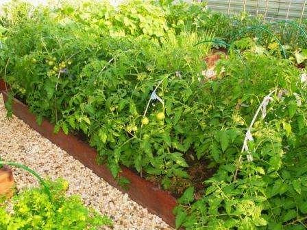 «Санька» — популярный низкорослый томат, произведенный в России. Его обычная высота не превышает 60 см.