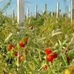 Какие семена томатов самые лучшие для открытого грунта?