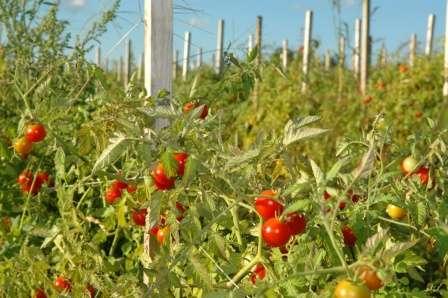 Вы зашли на наш сайт о фермерстве вовсе не зря, ведь у вас есть замечательная возможность узнать, какие семена томатов лучшие для открытого грунта.