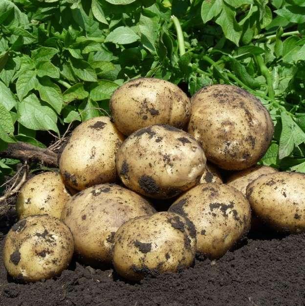 Этот сорт устойчив почти ко всем болезням, к которым предрасположен картофель.