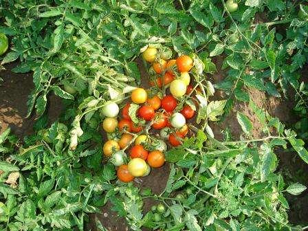Хороший сорт для выращивания в теплице.