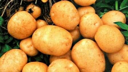 Особых правил при посадке картофеля сорта «Тулеевский» не требуется. Как и при посадке любого другого сорта картофеля, «Тулеевский» необходимо просушить и прогреть в теплом месте, разложив тонким слоем. Необходимо уберечь клубни от попадания на них прямых солнечных лучей. Крупные клубни можно разрезать, а срезы присыпать золой.