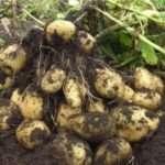 Особенности сорта картофеля «Тулеевский». Правила выращивания
