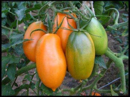 Даже в неблагоприятных условиях томат Золотой Кенигсберг хорошо цветет и образует завязи. Очень важно подвязать каждый стебель куста.