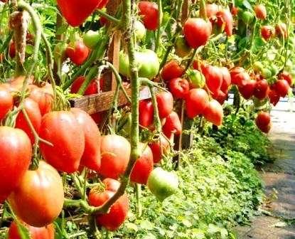 Этот сорт имеет хорошую устойчивость к засухе — может выстоять без полива целую неделю.