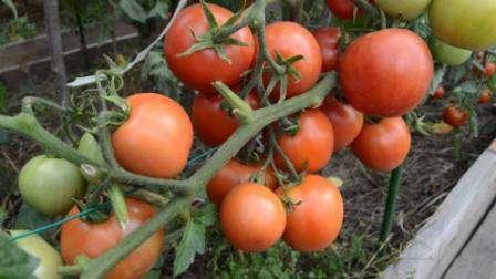 Выращивание томата Ямал практикуют даже в зонах рискованного земледелия. Этот сорт прекрасно себя чувствует в любой по составу почве, если его регулярно подкармливать.