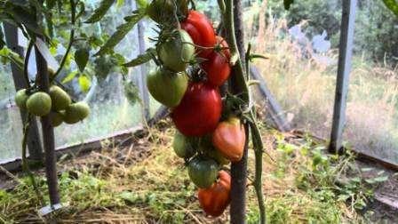 Тема этой статьи – томат «Мазарини» - отзывы, фото. Кто сажал это растение, на собственном опыте убедился в том, что сделать это вовсе несложно.