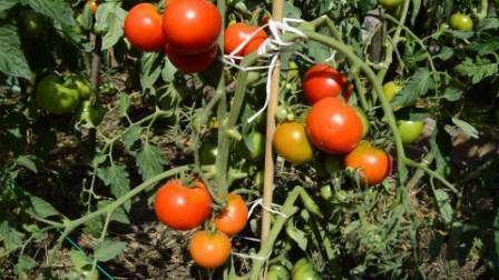 Те, кто сажал помидоры Дачник хоть раз, оставляют положительные отзывы о его внешнем виде.