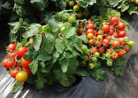 Для тех, кто не привык использовать ядохимикаты в выращивании овощей, немаловажной является устойчивость сорта к болезням.