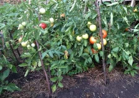 ли вы живете в южном регионе, где лето довольно жаркое и длинное, то вам стоит обратить внимание на сорта томата, которые устойчивы к летнему зною.