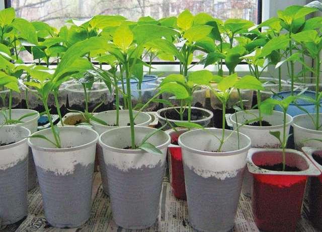 В феврале сажаются семена перца сладкого на рассаду.