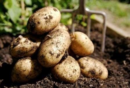 Следует уточнить содержание крахмала в этом картофеле – порядка 10-15%. Этот сорт является столовым, он выдержал лабораторные испытания, а значит прошел соответствие международным стандартам и требованиям.