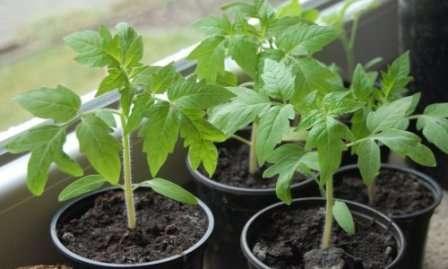 Начинать выращивание рассады нужно не очень рано — в конце марта или начале апреля.