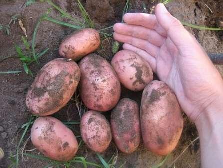 Практически все агрономы, которые имеют опыт в выращивании картофеля «ред скарлет» оставляют лишь положительные отзывы о нем.