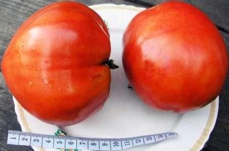 Тогда подумайте про томат Спринт Таймер. Описание сорта, фото и особенности выращивания мы собрали для вашего удобства.