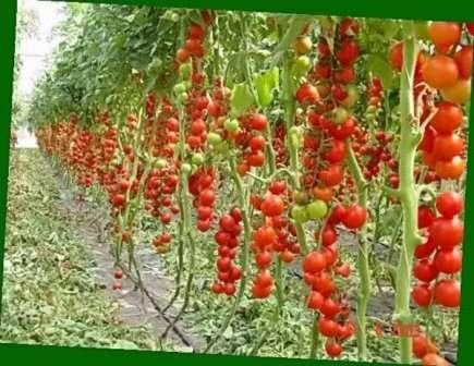 Также томат Ажур требует повышенного количества питательных веществ, что вынуждает огородников и фермеров производить частые подкормки.