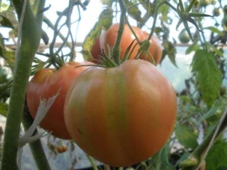 Среди достоинств томата «алсу» в основном отмечают сахаристость и нежный вкус плодов, из которых получаются прекраснейшие салаты и сок.
