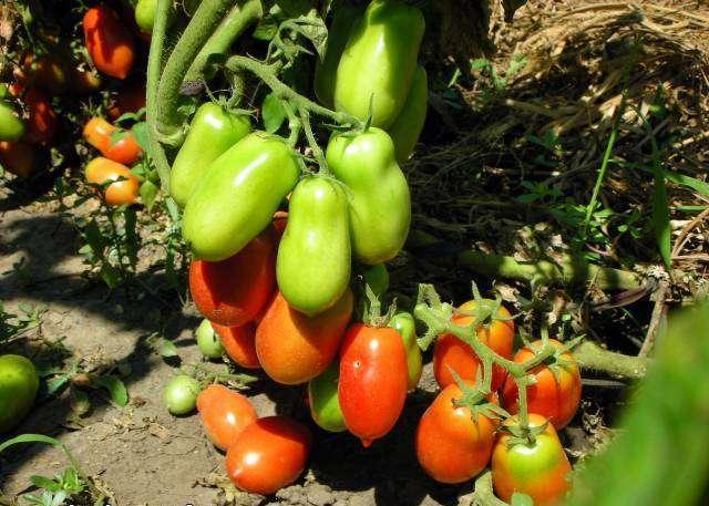 Отзывы дачников показывают, что томат Ракета проявляет хорошую засухоустойчивость.