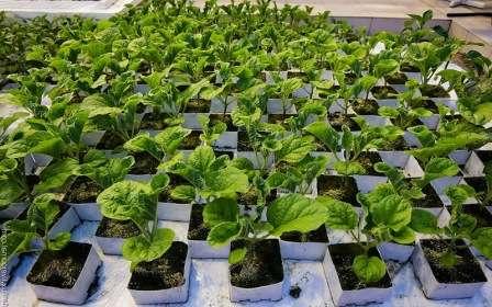 Посадка — это не самый сложный этап выращивания «синеньких», но он играет большую роль в их дальнейшем развитии и, в частности, в объеме будущего урожая.