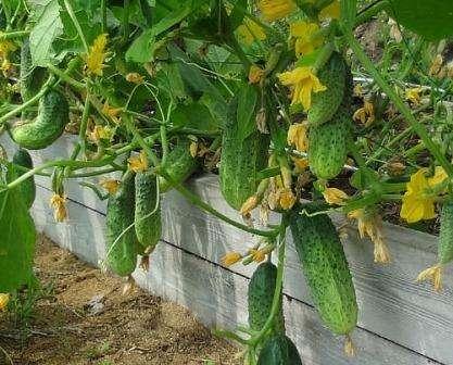 Иногда невозможно точно определить, почему огурцы на грядках не желают удлинять свои стебли или наращивать красивые зеленцы.